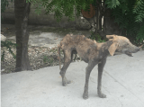 A Haitian dog stands injured, furless, and thin on Route National #1 near Arcahaire, Haiti.